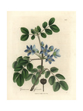 Blue Flowered Guaiacum Officinale Giclee Print