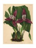 Lycaste X Luciani Var Superba Hybrid Orchid Giclee Print