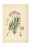 Valerian, Valeriana Officinalis Giclee Print