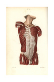 Muscles of the Male Torso Giclée-Druck