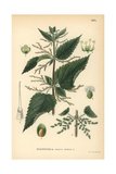 Common Stinging Nettle, Urtica Dioica Giclee Print
