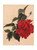 Hibiscus Rosa-Sinensis Rubra, Scarlet Hibiscus Giclee Print