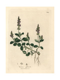 Purple Flowered Veronica, Veronica Officinalis Giclee Print by James Sowerby