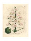 Pink Blossom and Fruit of the Horse Chestnut Tree, Aesculus Hippocastanum Giclee Print by James Sowerby