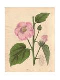 Hibiscus Roseus, Pink Hibiscus Giclee Print