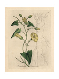Scammony Bindweed Giclee Print by James Sowerby