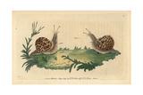 Garden SnailHelix Aspersa (Helix Hortensis) Giclee Print