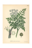 Poison Hemlock, Conium Maculatum Giclee Print