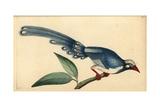 Red-Billed Blue Magpie, Urocissa Erythrorhyncha Giclee Print