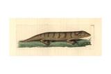 Sandfish Skink, Scincus Scincus Giclee Print by Richard Polydore Nodder