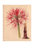 Haemanthus Multiflorus, African Blood Lily Giclee-vedos