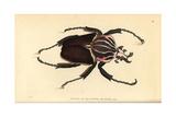 Goliath Beetle, Goliathus Goliatus Giclee Print
