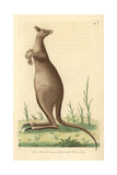 Great Kanguroo or Eastern Grey KangarooMacropus Giganteus Giclee Print