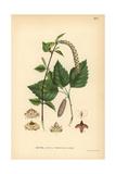 European White or Silver Birch, Betula Pendula Reproduction procédé giclée