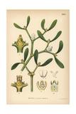 Mistletoe, Viscum Album Giclee Print