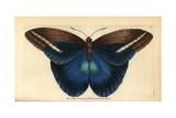 Giant Owl Butterfly, Caligo Idomeneus Giclee Print