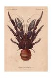Coconut Crab (Birgus Latroi) Giclee Print
