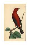 Brazilian Tanager, Ramphocelus Bresilius Giclee Print