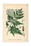 Cow Parsley or Wild Chervil, Anthriscus Sylvestris Giclee Print