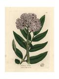 Purple Flowered Dwarf Elder Tree, Sambucus Ebulus Giclée-tryk af James Sowerby