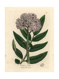 Purple Flowered Dwarf Elder Tree, Sambucus Ebulus Giclée-Druck von James Sowerby