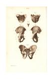 Sacrum, Coccyx and Pelvis Bones Giclée-Druck