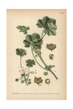 Round-Leaved Mallow, Malva Pusilla, and Common Mallow, Malva Neglecta Giclee Print