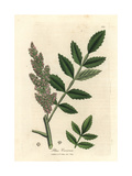 Elm-Leaved Sumac Giclee Print by James Sowerby