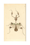 Violin Mantis, Indian Rose Mantis, Gongylus Gongylodes Giclee Print