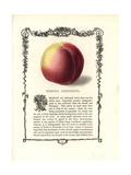 Elruge Nectarine, Prunus Persica Giclee Print