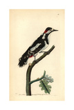 Great Spotted Woodpecker, Dendrocopos Major Giclee Print