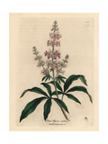 Pink Flowered Chaste Tree, Vitex Agnus Castus Giclee Print by James Sowerby