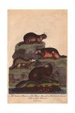 Beaver, Alpine Marmot, Bobak Marmot and Earless Marmot Castor Canadensis, Marmota Marmota Giclee Print