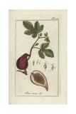Fig Giclee Print