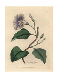 Lilac Flowered Jalap Bindweed, Colvolvulus Jalapa Giclee Print by James Sowerby