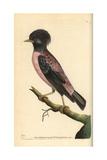 Rosy Starling, Sturnus Roseus Giclee Print