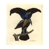 Superb Bird-Of-Paradise, Lophorina Superba Giclee Print