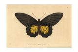 Common Birdwing Butterfly, Troides Helena Giclee Print