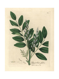 Blue Flowered Common Liquorice, Glycyrrhiza Glabra Giclee Print by James Sowerby