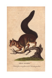 Great Squirrel, Malabar Squirrel, Indian Giant Squirrel or Malabar Giant Squirrel Giclee Print