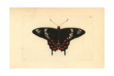 Crimson Rose Butterfly, Atrophaneura Hector Giclee Print