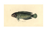 Pastel-Green Wrasse, Halichoeres Chloropterus Giclee Print by Richard Polydore Nodder
