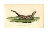 Eastern Blue-Tongued Lizard, Tiliqua Scincoides Scincoides Giclee Print