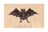 Peruvian Bat or Harelipped BatVespertilio Leporinus Noctilio Leporinus Giclee Print