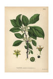Purging Buckthorn, Rhamnus Cathartica Reproduction procédé giclée