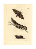 Elephant Hawkmoth, Deilephia Elpenor Giclee Print by Richard Polydore Nodder