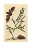 Eyed Hawk-Moth or Ocellated SphinxSmerinthus Ocellata (Sphinx Ocellata) Giclee Print