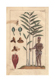 Cardamom Tree, Seed, Pod, Amomum Cardamomum Giclee Print