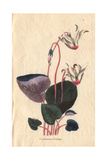 Persian Cyclamen, Cyclamen Persicum Giclee Print