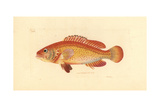Coney Fish, Cephalopholis Fulva Giclee Print by Richard Polydore Nodder